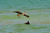 Endangered Brown Pelican flying — Stock Photo