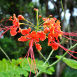 Pride of Barbados flower — Stock Photo
