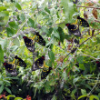 Stock Photo: Cairns Birdwing Latin name Ornithoptereuphorion mating