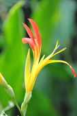 Canna lily — Stock Photo