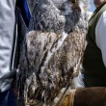 Great Gray Owl (Strix nebulosa) — Stock Photo #48775577