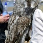 Great Gray Owl Latin name Strix nebulosa — Stock Photo #51155555