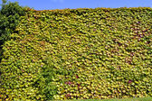 Boston ivy Latin name Parthenocissus tricuspidata Veitchii — Stock Photo