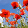 Poppies Against a Blue Summer Sky — Stock Photo
