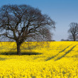 Canola Field, Suffolk, UK. — Stock Photo
