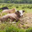 Cows on the Marshes — Stock Photo