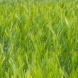 Field of Green Barley — Stock Photo