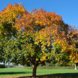Autumn Tree, From Green to Golden Red — Stock Photo