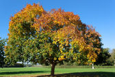 Autumn Tree, From Green to Golden Red — Foto Stock