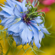 Love-in-a-Mist — Stock Photo