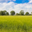 Ripening Barley Field — Stock Photo