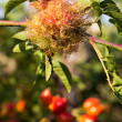 Dog-rose Gall — Stock Photo