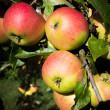 Braeburn Apples — Stock Photo