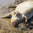 Pig Wallowing in a Muddy Puddle — Stock Photo