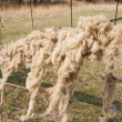 Sheep fleece — Stock Photo