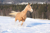 Czech Warmblood, 10 Years Old Mare — Stock Photo
