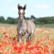 Arabian foal running in red poppy field - Stock Photo