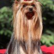 Yorkshire terrier in front of green background — 图库照片