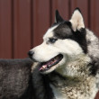 Grey Siberian husky - Stock Photo