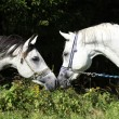 Two arabian stallions with show halters — Stock Photo