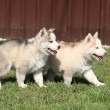 Two Siberian husky puppies — Stock Photo