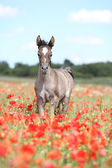 Arabian foal running in red poppy field — 图库照片