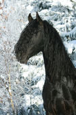 Lovely friesian stallion with snowy tree — Stock Photo