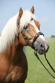 Portrait of Haflinger stallion — Foto Stock