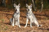 Saarloos Wolfhound — Stock Photo