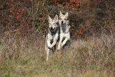 Two Saarloos Wolfhounds running — Stock Photo