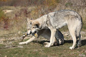 Saarloos Wolfhounds playing — Stock Photo