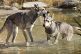 Saarloos Wolhound playing in water — Stock Photo