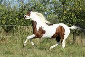 Paint horse running — Stock Photo