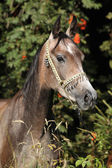 Nice arabian mare with show halter — Stock Photo