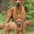 Постер, плакат: Rhodesian ridgeback bitch with puppies