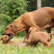 Stock Photo: Rhodesiridgeback