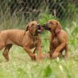 Rhodesian ridgeback puppies playing - Stock Photo