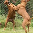 Rhodesian ridgeback bitch — Stock Photo