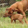 Rhodesiridgeback bitch with puppy — Stock Photo #23767545