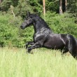 Black friesian stallion running — ストック写真