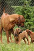 Rhodesian ridgeback bitch — Stockfoto