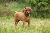 Rhodesian ridgeback pup — Stockfoto