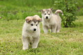 Alaskan Malamute puppy — Stock Photo