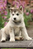 Alaskan Malamute puppy — ストック写真