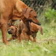 Rhodesiridgeback bitch with puppy — Stock Photo #23770111