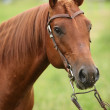 Nice Quarter horse stallion with western bridle — Stock Photo #23770377