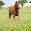 Nice Quarter horse stallion running on pasturage — ストック写真