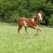 Nice Paint horse filly running on pasturage — ストック写真
