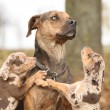 Stock Photo: LouisianCatahouldog scared of parenting