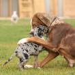 Постер, плакат: Louisiana Catahoula bitch with puppy